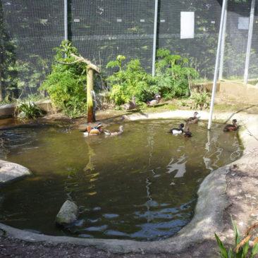 Patos y anátidas